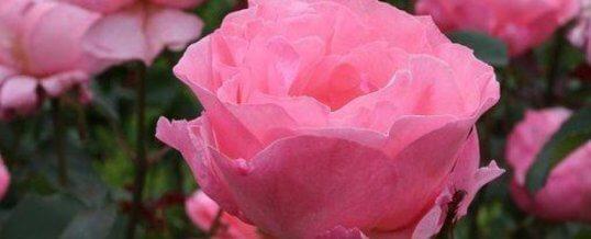 El extraño muro con olor a rosas
